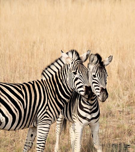 9219-Zebra_160x180def